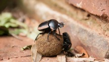 Dung beetles hard at work